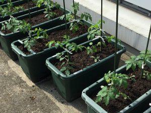 minitomato_planting